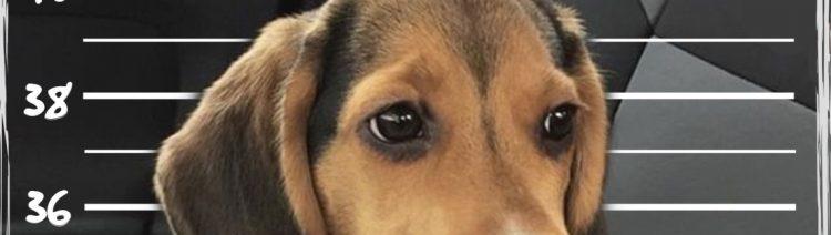 beagle raza gamberrada