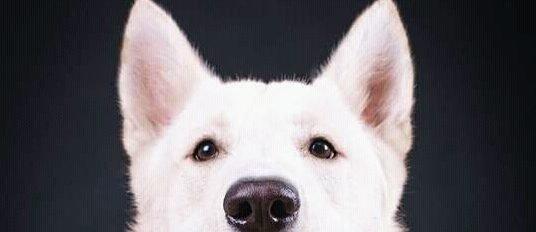 picasso perro pastor